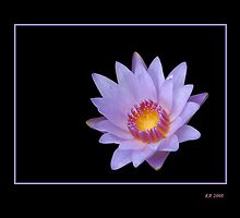 Lavender Water Lily Glowing by Keith Richardson