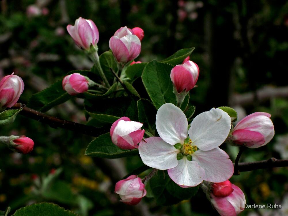 Apple Blossom by Darlene Ruhs