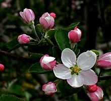 Apple Blossom by Darlene Ruhs