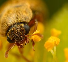 Small Beetle eating Pollen by alliec