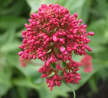 Red Valerian by pat oubridge