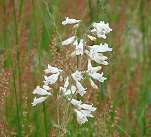 Hairy Beardtongue by inventor