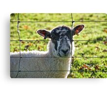 Ewe Looking At Me? Canvas Print
