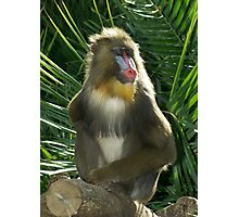 Mandrill, 2 Photographic Print