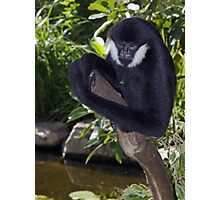 White Cheek Gibbon Photographic Print
