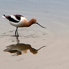 American Avocet (prints only) by Bunny Clarke