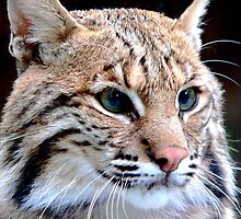 Eyes of a Lynx   402 Views by Rosalie Scanlon