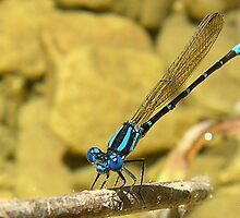 Blue Damselfly by mwfoster