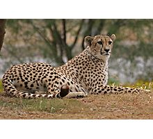 Relaxing and Ready to Pounce Cheetah Photographic Print