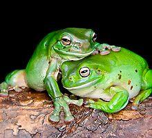 Australian Green Tree Frog [Litoria caerulea] by Shannon Benson