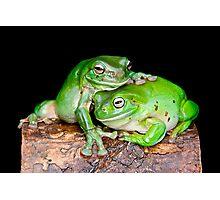Australian Green Tree Frog [Litoria caerulea] Photographic Print