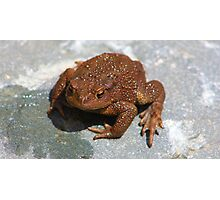 Common Toad (Bufo bufo) Photographic Print