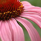 Echinacea purpurea by Lorraine Deroon