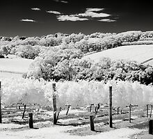 In the Vineyard by Ian Robertson