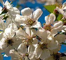 Apple Blossom II by Darlene Ruhs