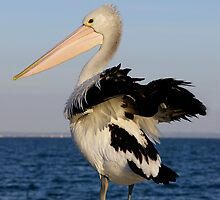 australian pelican by Cheryl Ribeiro