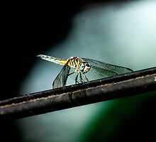 Dragonfly on a Wire by lletizia