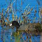 Coot by Robert Brown