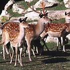 herd of Sika deer by nymphalid