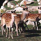herd of Sika deer by nymphalid