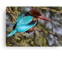White Breasted Kingfisher III Canvas Print