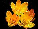 Golden Crocus by lynn carter