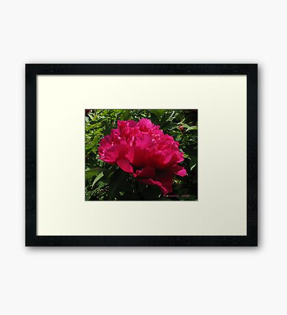 chinese tree peony 2 Framed Print