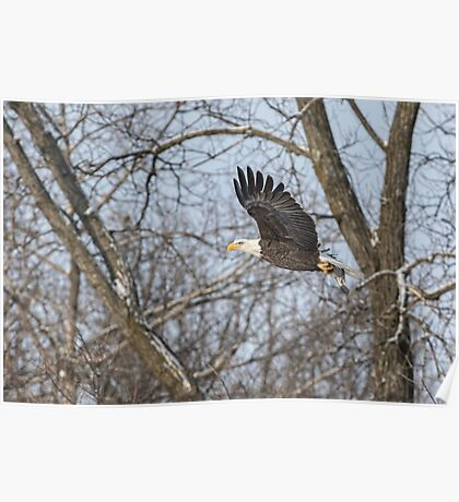 Adult American Bald Eagle  Poster