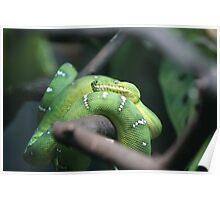 Sir Hiss-Emerald Tree Boa Poster