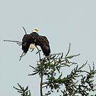 Bald Eagle - Deroche, BC by Tamara Brandy