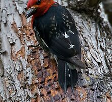 Red Breasted Sapsucker by David Friederich