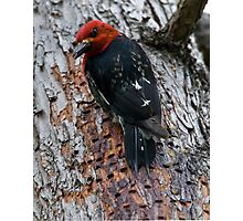 Red Breasted Sapsucker Photographic Print