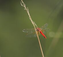 Red Dragon Fly by fellPhotography.com .au