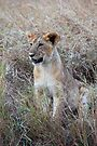 Young Lion in the Grass, Maasai Mara, Kenya by Carole-Anne