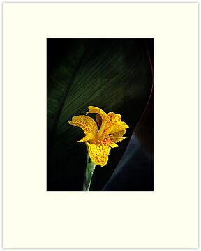 Canna Lily by Alison Cornford-Matheson
