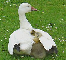 A Lesser Snow Goose Brooding Her Goslings by AARDVARK