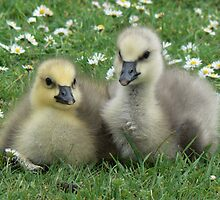 Lesser Snow Goose Goslings by AARDVARK