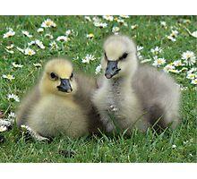 Lesser Snow Goose Goslings Photographic Print