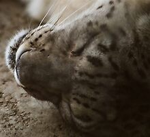Sleeping Snow leopard by Pete Miller