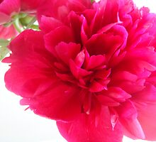 Pretty Peony by girlinthestars