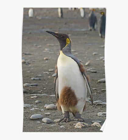 Juvenile King Penguin Poster