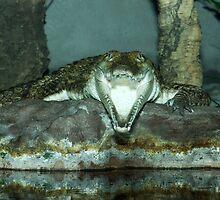 Freshwater Crocodile by Aussiebluey