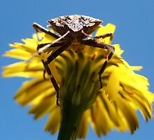 stink bug by Hollie Nass