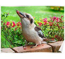 Kookaburra who visits my garden. Poster