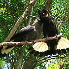 Yellow-Tailed Black Cockatoo - Male Adult & Young by Bev Pascoe