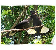 Yellow-Tailed Black Cockatoo - Male Adult & Young Poster