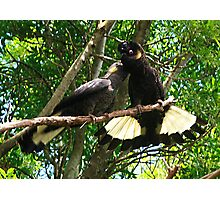 Yellow-Tailed Black Cockatoo - Male Adult & Young Photographic Print