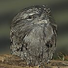 Tawny Frogmouth - Gippsland by Bev Pascoe