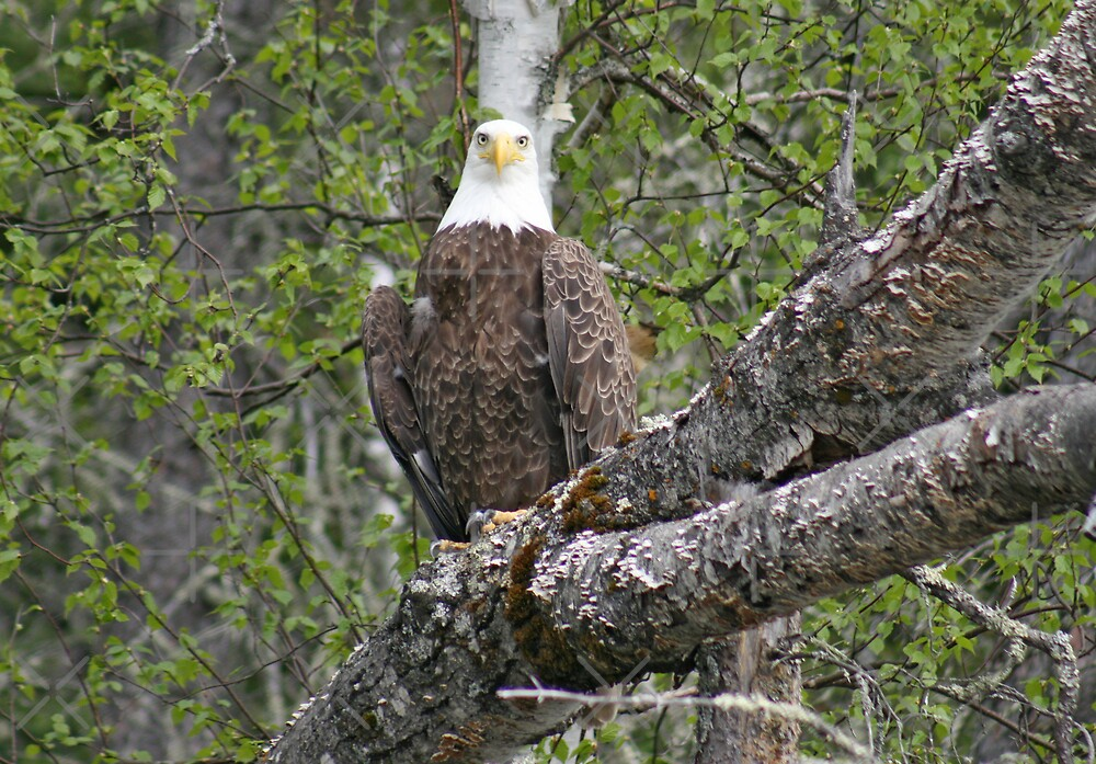 Bald Eagle by Vickie Emms