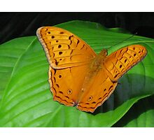 Male Cruiser Butterfly Photographic Print
